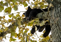 Sweet Dreams Are made of This (T0nyJ0yce) Tags: blackbear cute sleeping wildlife bearpaw adorable yearling tired sleepy bearintree animals sow sleepingbeauty bearfeet sweet wild bear mammals sleepingbear hibernation bearclaws ursusamericanus