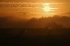 Sheep Breath At Sunrise ! (James Whorriskey (Delbert Jackson)) Tags: jameswhorriskey jameswhoriskey delbertjackson derry londonderry uk ulster ireland northernireland photo photograph photographer picture aroundus impressionsexpressions catchycolors jameswhorriskeyphotography colour art print outdoor silhouette cumber claudy sunrise sheep fog river mist faughan sun hue orange upper breath thenorthofireland