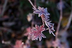 Punane ja hrmas (Jaan Keinaste) Tags: pentax k3 pentaxk3 eesti estonia loodus nature punane red hrmas lehmjatammik sgis autumn frosty