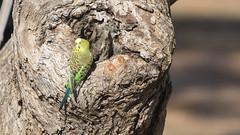 _DSC0890 (slackest2) Tags: bird wings budgie budgerigar parrot tree outback bush donga