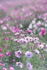 2016 Cosmos  (SYU*2) Tags: cosmos nikon flower love beautiful colors cute flowers d800 nikoor pastel nature photography pink dreamy dreamyandethereal 90mm