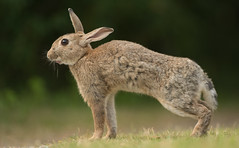 Wild Rabbit (Wouter's Wildlife Photography) Tags: wildlife wildrabbit rabbit oryctolaguscuniculus animal nature mammal cottontail ameland