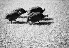 L1015286web (kodakplusx) Tags: perlhhner zufus guineafowl walking marching marschierend gruppe group leicadigilux2
