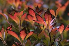 Autumn colours (malkv(500,000 + Views)) Tags: canon 7d nature flora autumn colours fall macro westonbirt