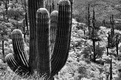 Near and Far (Black & White) (thor_mark ) Tags: blackwhite nikond800e day1 coronadonationalforest lookingeast capturenx2edited colorefexpro desert desertlandscape sonorandesert saguaro cactus carnegieagigantea saguarocactus outside landscape nature cactusacrossdesertlandscape catalinahighway generalhitchcockhighway pimacounty skyislandscenicbyway mountlemmonhighway arizonaforesthighway39 intermountainwest southwestbasinsandranges southeastarizonaranges huachucaarea santacatalinamountains desertplantlife arborescenttreelikecactus project365 arizona unitedstates