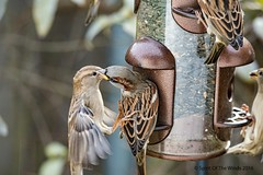 It Got A Tad Rough (jimgspokane) Tags: birds sparrows wildlife spokanewashingtonstate otw