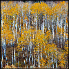the aspens (zgrial) Tags: trees aspen autumn foliage golden landscape grandteton nationalpark wyoming usa square zgrial