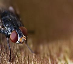 Mosca (Ariany Maia) Tags: macro natureza nature insect inseto mosca mosquito fotografia fotografa