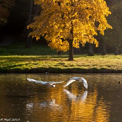 Les berges d'Avalon (Mike Y. Gyver) Tags: fly swan cygnes vol gold goldenhour tervuren lake lac d90 depthoffield dream belgium belgique brussels bruxelles wild bird nikon nikkor18105 tree avalon serene beauty beautifull imaginary