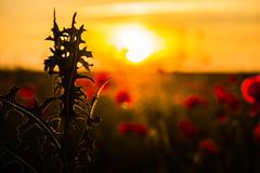 A little bit Summer (wolfi8723) Tags: sunset sunshine sun summer outdoor outside poppies field nature natur