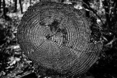 Seasoned Wood (fushoku) Tags: 1125 280mm apsc alpha6000 autumn bw black bokeh dof depthoffield deutschland emount fall forest germany grey handheld iso500 kmount manual manualfocus mirrorless nature nordrheinwestfalen northrhinewestphalia outdoor pentax plant prime smcpentaxk13528 sony tree treetrunk white wood f35