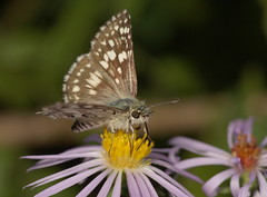 Checkered Skipper (cotinis) Tags: insect butterfly lepidoptera hesperidae pyrginae pyrgus pyrguscommunis checkeredskipper commoncheckeredskipper northcarolina piedmont sigma150mmexdgf28macro