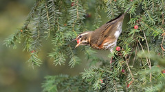 Redwing (image 1 of 4) (Full Moon Images) Tags: rspb sandy lodge thelodge wildlife nature reserve bedfordshire berry yew tree thrush redwing