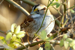 Chipping Sparrow at Perry Point Park, Maryland (WabbyTwaxx) Tags: perryville maryland md perry point park chipping sparrow