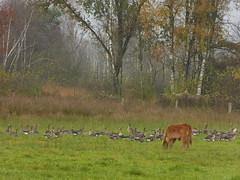 Still a peaceful scene....... (joeke pieters) Tags: 1310215 panasonicdmcfz150 gans ganzen goose geese heckrund heckrind heckcattle kalf calf kalb landschap landscape landelijk landschaft paysage rural pastoral wildlife herfst herbst autumn fall automne