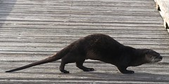 Otterwalk (stepho.the.bear) Tags: catwalk otter dock marina lopez island walking
