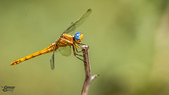 Sympetrum flaveolum - Dragonfly-Yusufçuk- 20 (Street Parrot) Tags: yellow flower blue animals summer animal fly insect wildlife dragonfly bug böcek yusufçuk pentax k10d da 300mm