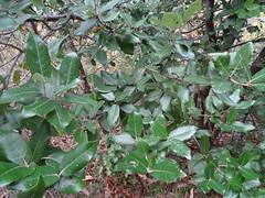 Stein-Eiche - Quercus ilex - Blätter von oben, NGID1847624137 (naturgucker.de) Tags: ngid1847624137 naturguckerde steineiche quercusilex 649561984 2128523129 945329452 chorstschlüter