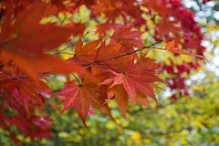 Autumn (Thefullminty) Tags: tree acer autumn