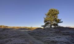 Formby Woods - November-2016_011_gpx (syberad) Tags: 2016 winter formby woods forest pine trees seaside coast coastal sssi sunrise morning landscape formbywoods formbynaturereserve merseyside november sunshot intothesun dunes dune sand grass path track marramgrass vegitation plants
