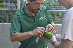 Getting ready for freedom (USFWS/Southeast) Tags: puertoricanparrot maricao puertorico usfishandwildlife departamentorecursosnaturales liberacion 2016 cotorra iguaca