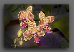 FELIZ QUINTA DE FLORES. (manxelalvarez) Tags: orqudeas flores flora orchids