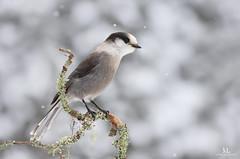 Mésangeai du Canada - Gray jay - Perisoreus canadensis (Maxime Legare-Vezina) Tags: bird oiseau nature wild wildlife animal fauna ornithology biodiversity canon winter hiver snow neige quebec canada