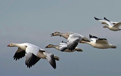 Snowies (robinlamb1) Tags: bird nature animal geese snowgeese inflight outdoor reifel clearsky