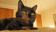 Alice (hedgehoggarden1) Tags: norfolk eastanglia uk cats animal pet feline canon canonpowershotsx50hs bridgecamera tortoishelle cat alice