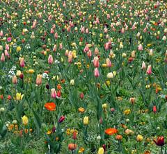 Parterre, au parc de Sceaux (Hauts-de-Seine), 7 avril 2012 (Stphane Bily) Tags: square spring printemps sceaux carr parterre tulipes parcdesceaux hautsdeseine stphanebily
