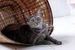 Tiguer en canasto (il Castigliano) Tags: gato felino tiguer canasto