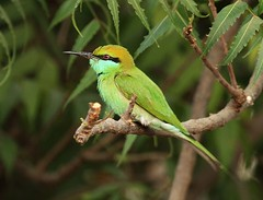 green bee eater (Raghuvir solanki) Tags: allofnatureswildlifelevel1 allofnatureswildlifelevel2 allofnatureswildlifelevel4 allofnatureswildlifelevel5 allofnatureswildlifelevel6 allofnatureswildlifelevel7
