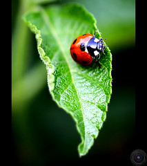 . (Usman Hayat ~back~) Tags: lady bug nikon flickr beetle f 28 mm 105 nikkor hayat d800 usman colorphotoaward uhayat
