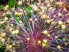 Ornamental Onion (cookedphotos) Tags: flowers plants green nature botanical edwardsgardens ornamentalonion