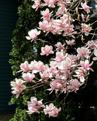 IMG_2123 (quirkyjazz) Tags: trees clouds spring lookingup magnolias blueskky