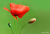 Mary Poppies (Dieghito61) Tags: flowers nature closeup nikon flowerthequietbeauty