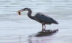 Bye-bye, fishie.... (bobtravis) Tags: heron birds massachusetts concord greatblueheron greatmeadowsnwr sx40hs