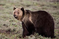 """Blondie"" (laura kristen) Tags: bear nature animal animals wildlife bears grand wyoming tetons grizzlybear"