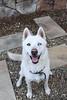 Salt (Gertrude139) Tags: dog white happy husky arctic siberianhusky sleddog sibe bieyed