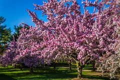Pink flowering tree (GGVogman) Tags: pink flower tree garden spring flowering