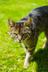 Always watching... (ma_ps_) Tags: old england brown green eye animal cat eyes focus feline unitedkingdom bokeh vibrant ears whiskers gaze stainton
