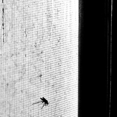 2013may20: mosquito on a window sill. // Taken with KitCam.  http://kitc.am (stuffedeskimo) Tags: bw bug screen mosquito windowsill kitcam