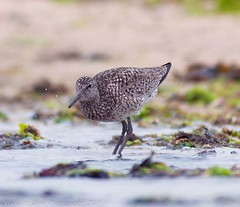 Willet - 5 (krisinct) Tags: bird beach nikon tokina tc 300 tamron f28 willet d300 14x