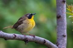 052313-5110099 (jim sonia) Tags: bird commonyellowthroat hamptonnh