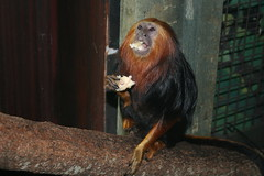 dinner time (Josie_B) Tags: cute monkey golden dinnertime tamarin goldenliontamarin