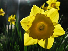 Backlit (lady.bracknell) Tags: flowers flower macro yellow garden trumpet daffodil backlighting springbulbs