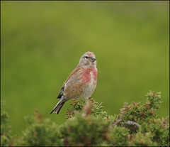Linnet (Tilly Lilley) Tags: bird menorca balearicislands cardueliscannabina sony500mmreflexlens mygearandme mygearandmepremium mygearandmebronze