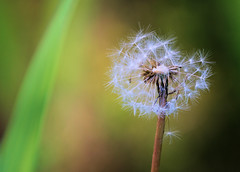 Blow Ball getting older... (tloehndorf) Tags: flowers plants macro canon dandelion pusteblume blowball