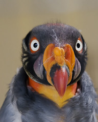 The King Vulture (ORIONSM) Tags: bird king prey colourful vulture icbp sigma150500 pentaxk5