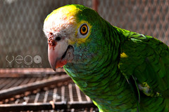 Tuta. (Connie Vega) Tags: pet bird parrot loro mascosta